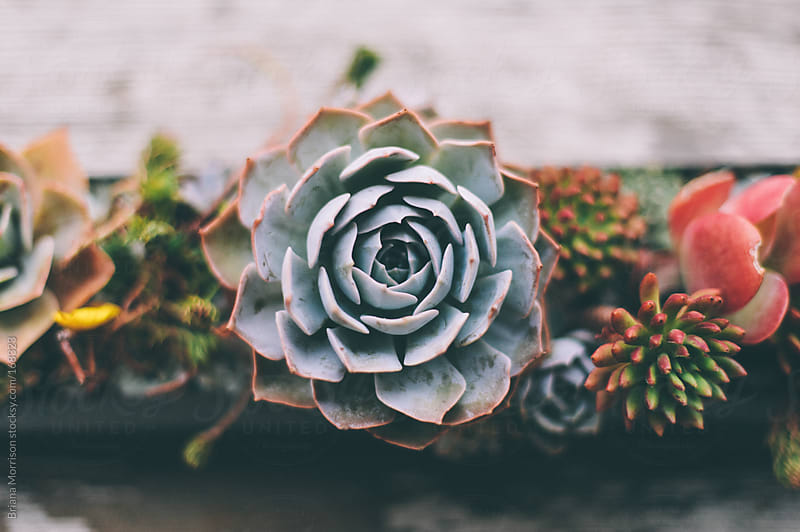 Closeup of Succulent Plants in Planter by Briana Morrison for Stocksy United