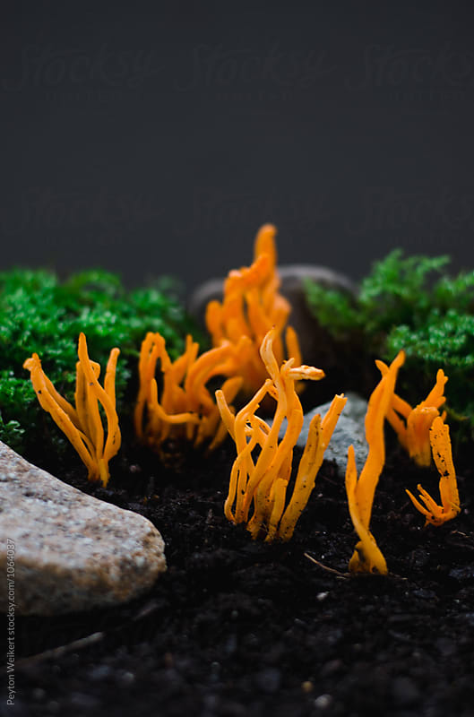 Clavulinopsis aurantiocinnabarina by Peyton Weikert for Stocksy United
