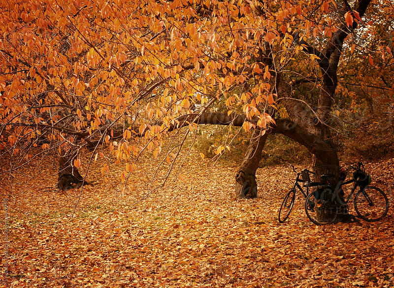 Central Park Autumn - Two Bicycles Against a Tree by Vivienne Gucwa for Stocksy United