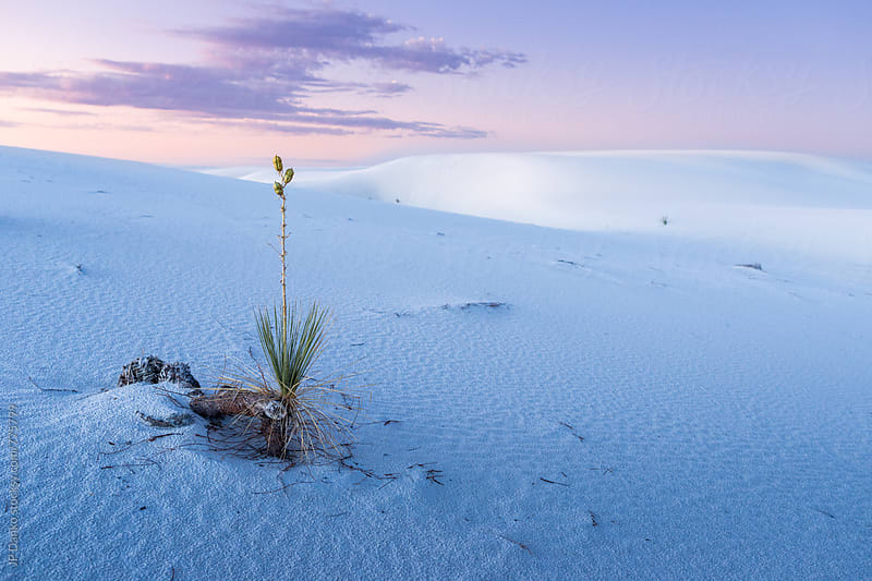 Soaptree Yucca in White Sands National Monument New Mexico Landscape at Dawn by JP Danko for Stocksy United