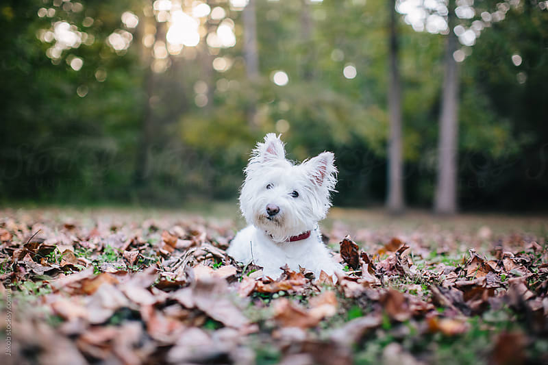 A cute white dog playing in a bed of leaves by Jakob for Stocksy United
