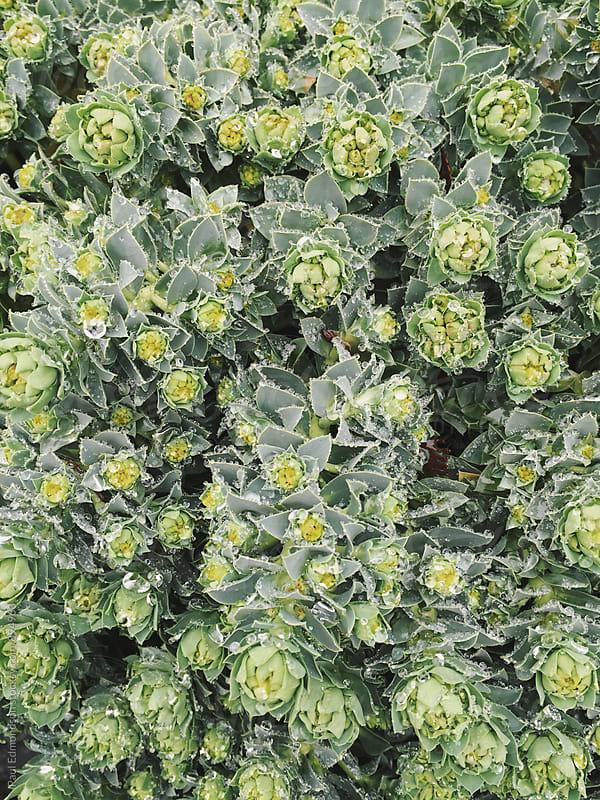 Close up of raindrops on green succulent plant in garden (Euphorbia characias) by Paul Edmondson for Stocksy United