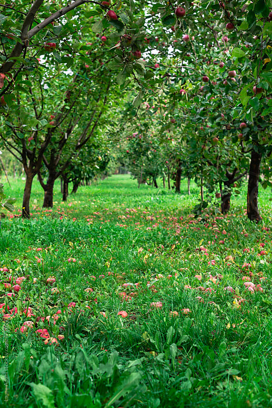 Apple orchard field  by Laura Adani for Stocksy United