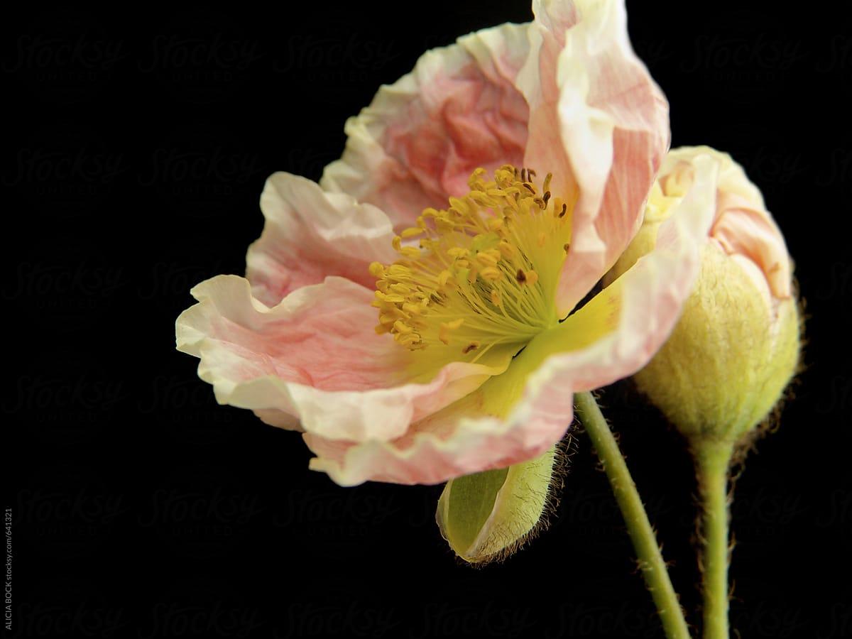 Delicate Pink Iceland Poppy Flowers Stocksy United