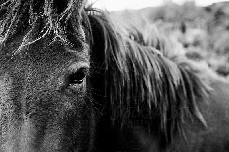 Close Up of Wild Horse Eye in Black and White by Julien L. Balmer for Stocksy United