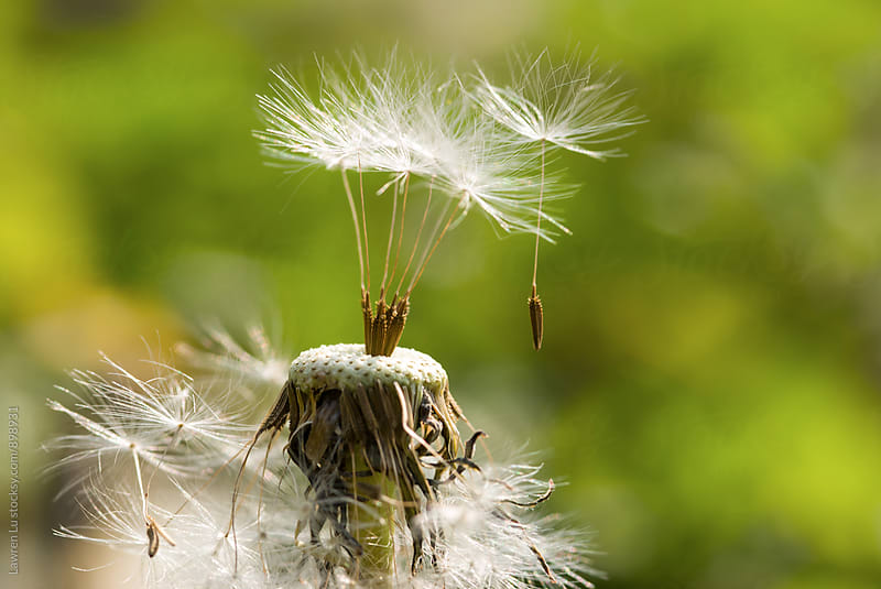 White seed of dandelion flying with wind by Lawren Lu for Stocksy United