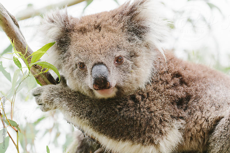 Koala in tree by Cameron Zegers for Stocksy United