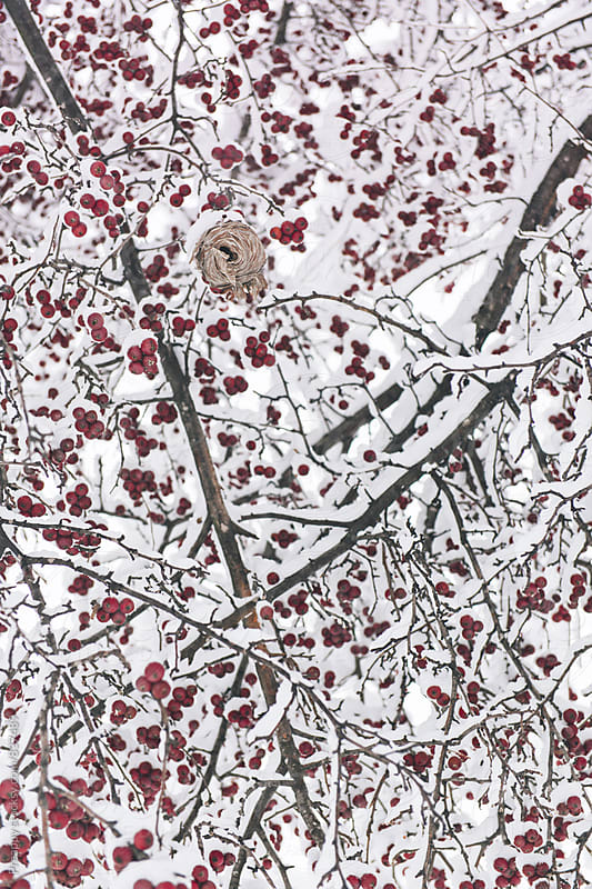 Wasp hive on crab apple tree with fresh fallen snow by Preappy for Stocksy United