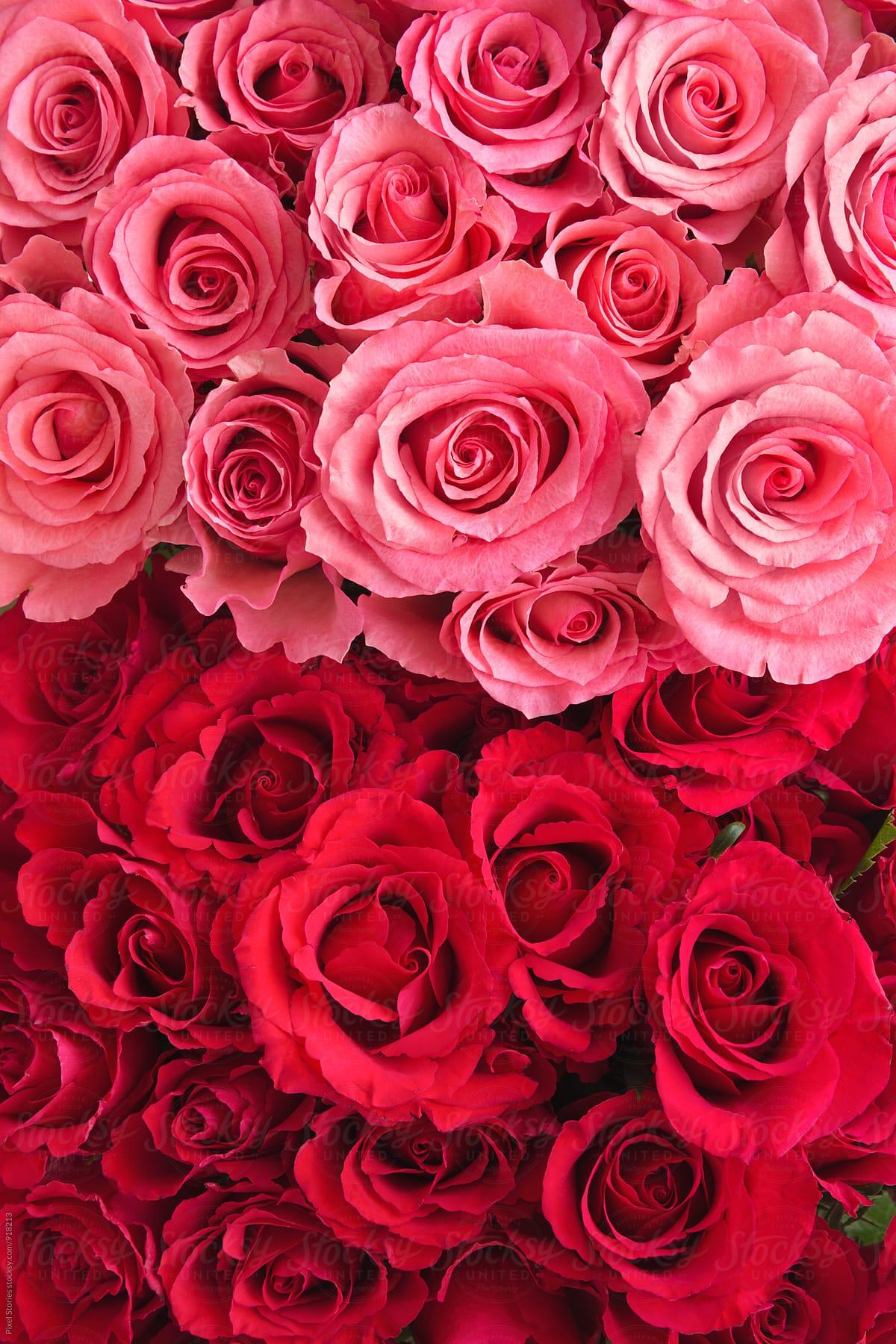 roses stock background photo