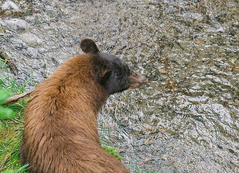 Bird's-eye view of a wild black bear sow looking for salmon in a creek by Mihael Blikshteyn for Stocksy United
