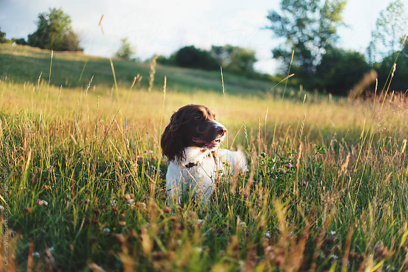 A dog in a field by Chelsea Victoria for Stocksy United