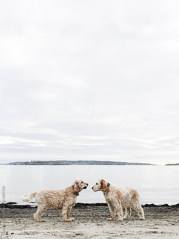 Two English Setter dogs are face to face at the beach by Cara Slifka for Stocksy United