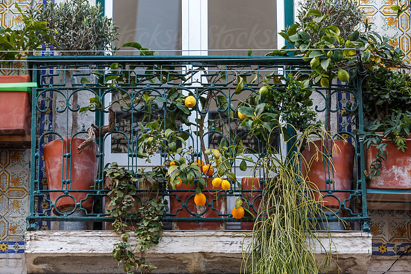 Citrus trees growing in pots on a balcony by Amanda Large for Stocksy United