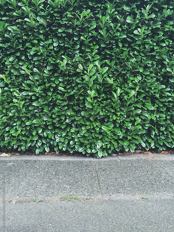 Green laurel hedge  by Paul Edmondson for Stocksy United