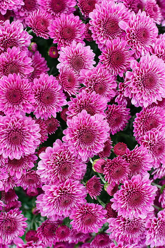 Purple mums by Kristin Duvall for Stocksy United