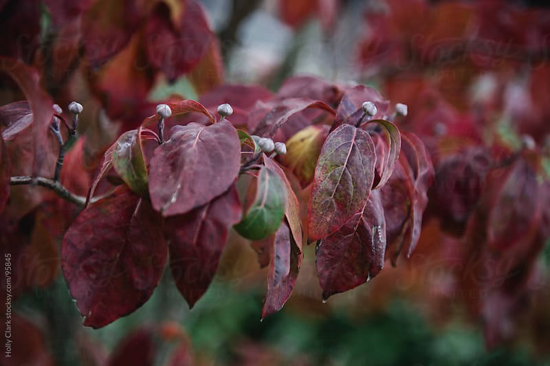 Red leaves on a Dogwood Tree in Autumn. by Holly Clark for Stocksy United