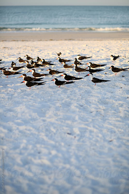 A Flock Of Black Skimmer Birds On A Beach by ALICIA BOCK for Stocksy United