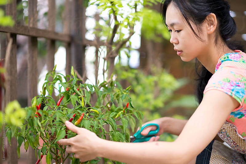 Woman gathering red chillis in garden by Lawren Lu for Stocksy United