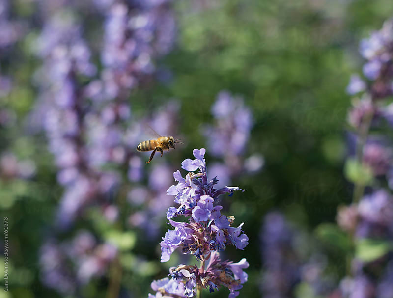 Honeybee hovers next to a delicate purple wildflower by Cara Slifka for Stocksy United