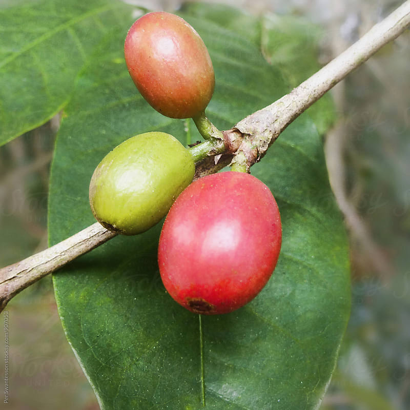Fresh arabica coffee fruit  by Per Swantesson for Stocksy United