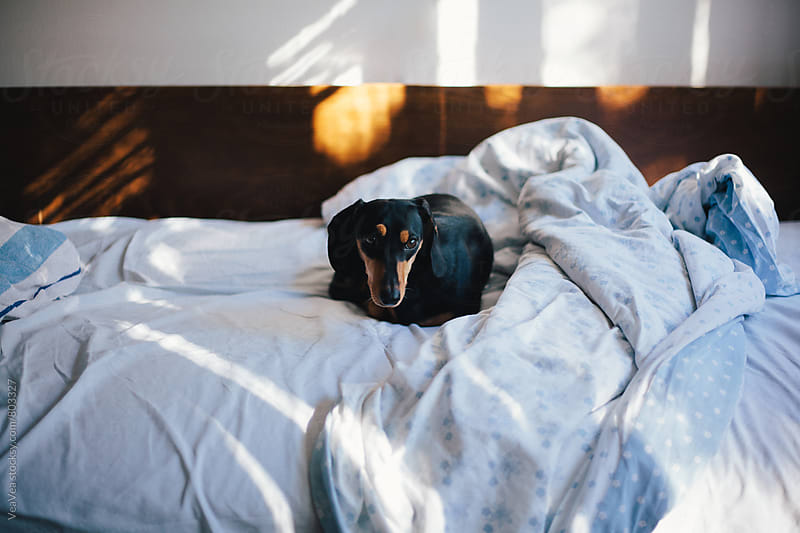 Adorable dachshund lying on the bed  by VeaVea for Stocksy United
