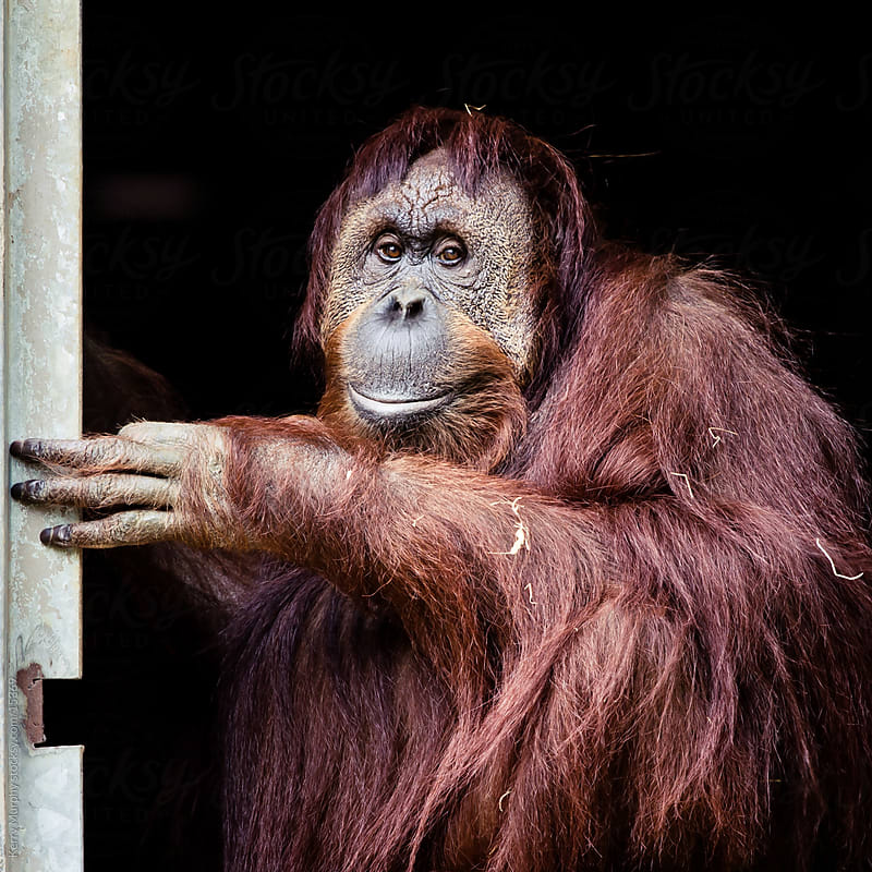 Square crop of orangutan by Kerry Murphy for Stocksy United