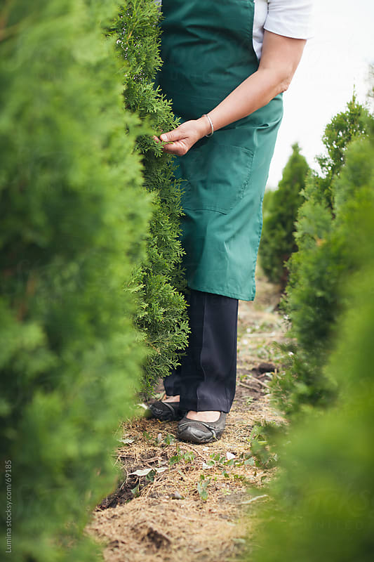 Woman Tending to Thuja Trees by Lumina for Stocksy United