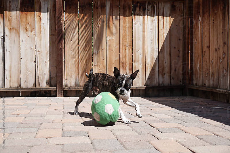Bruce the Boston Terrier/Pug plays with ball by Shannon Aston for Stocksy United