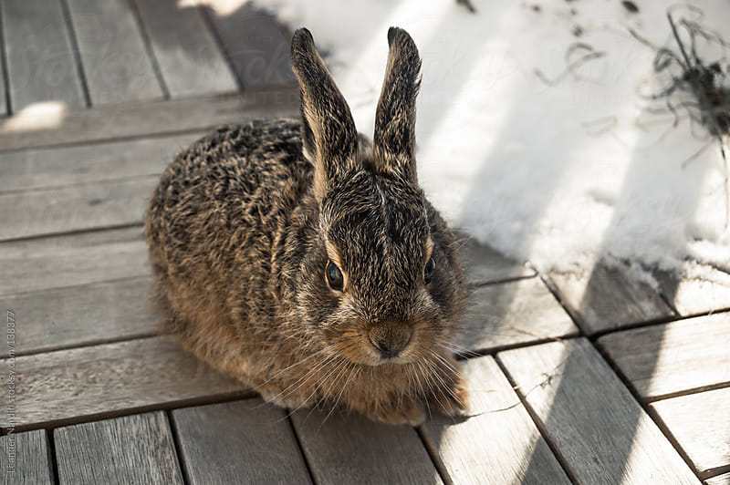 young hare sitting outside on wooden surface by Leander Nardin for Stocksy United