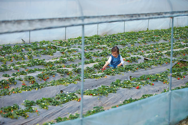 little asian girl picking strawberry in the farm by Bo Bo for Stocksy United
