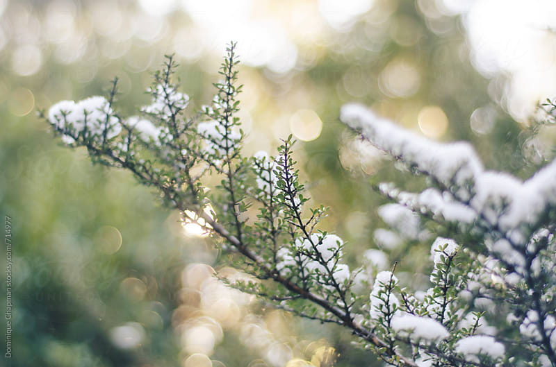 Snow covered branches of plants by Dominique Chapman for Stocksy United