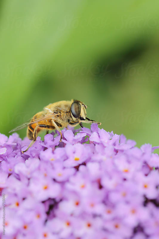 Bee on buddleja flower by Marcel for Stocksy United