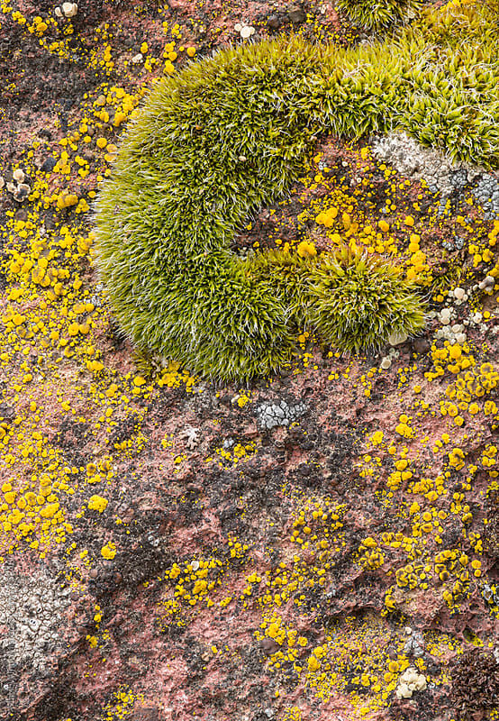 Lichen and moss, closeup by Mark Windom for Stocksy United