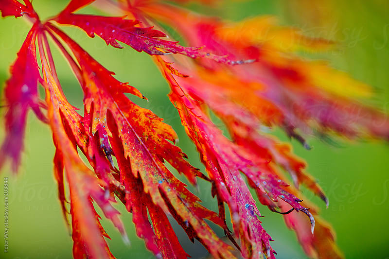autumn leaf macro by Peter Wey for Stocksy United