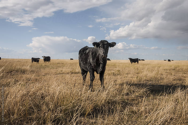 lone young cow in a field  by Tod Kapke for Stocksy United
