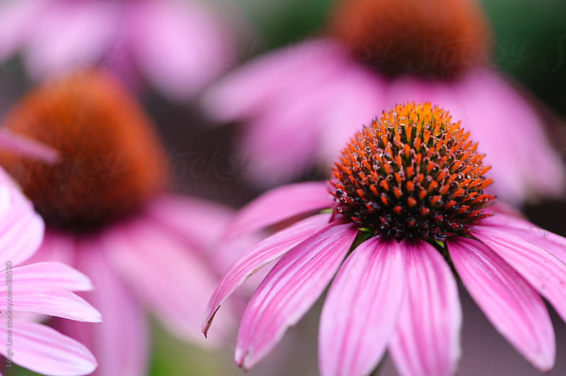 Pink/Purple Coneflower with Orange Stamens by Leigh Love for Stocksy United