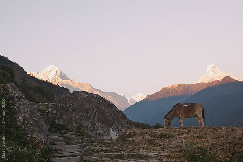Donkey in The Himalayas by Matt Lief Anderson for Stocksy United