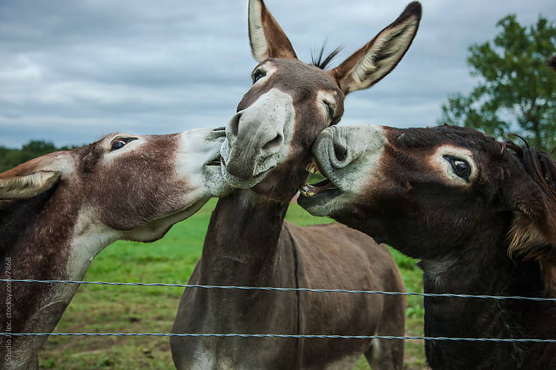 Animal Personalities: Bickering Biting Donkeys by Jani Bryson for Stocksy United