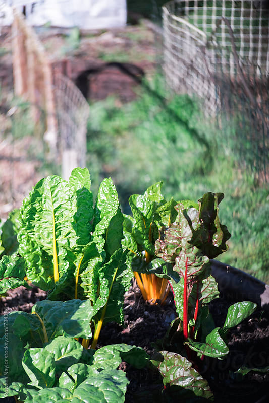 SIlverbeet plants in morning light by Rowena Naylor for Stocksy United