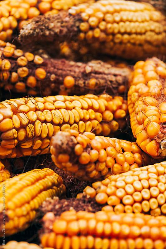 Dried corn cobs by Borislav Zhuykov for Stocksy United