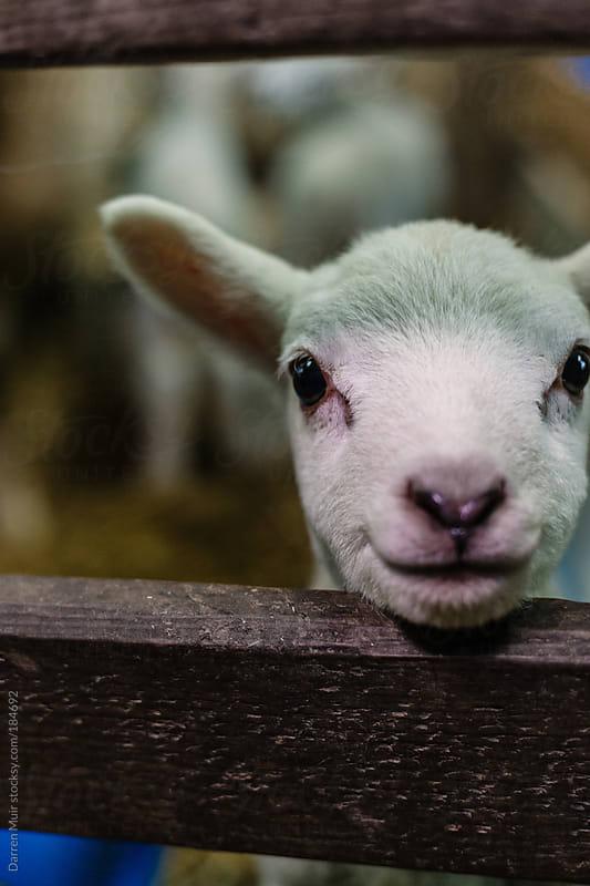 Spring lamb smiling at camera. by Darren Muir for Stocksy United