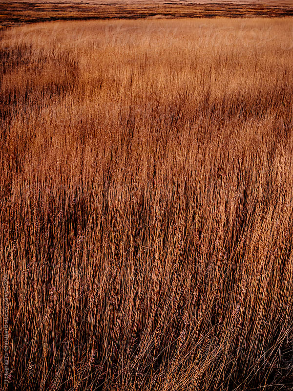Marsh reeds in the golden hour by Photographer Christian B for Stocksy United