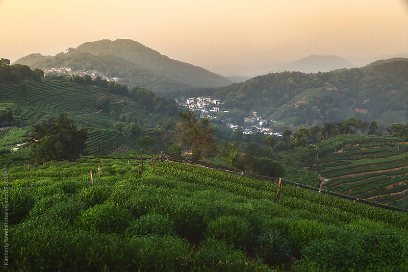 View of Tea Fields in Hangzhou, China by Kimberly Kendall for Stocksy United