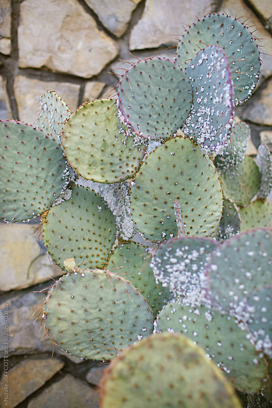up close of spikey cactus / succulent by Natalie JEFFCOTT for Stocksy United