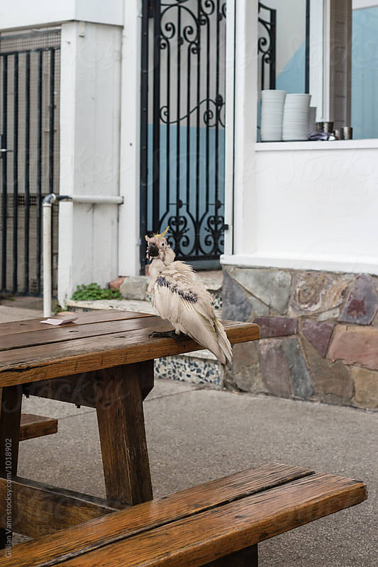sad, scruffy cockatoo bird by Gillian Vann for Stocksy United