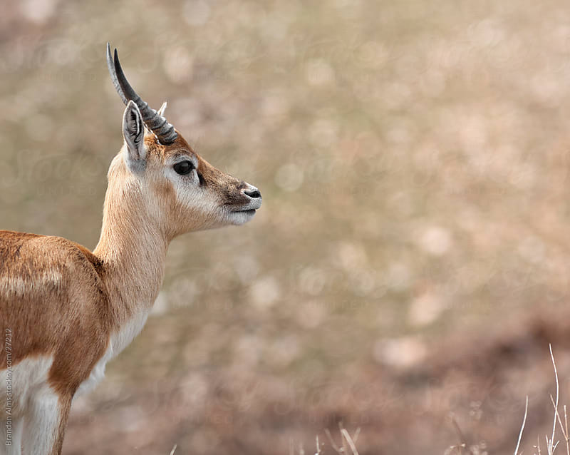 Young Antelope Closeup by Brandon Alms for Stocksy United