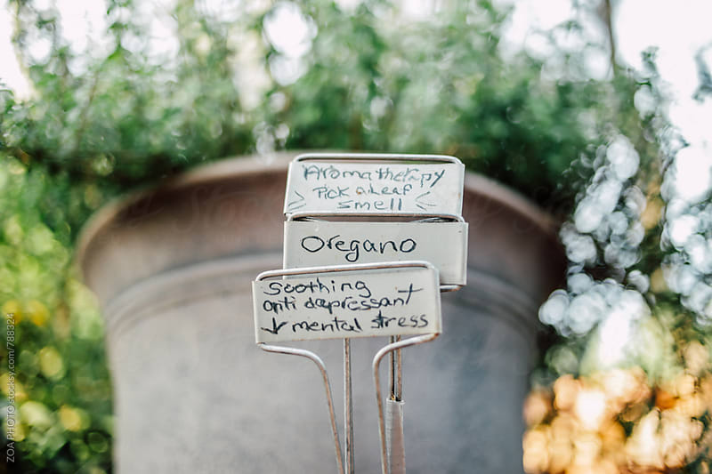 Oregano Plant benefits by ZOA PHOTO for Stocksy United