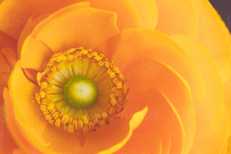 Macro of center of yellow ranunculus flower by Kerry Murphy for Stocksy United