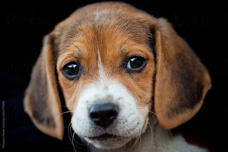 Beagle puppy by Thomas Hawk for Stocksy United