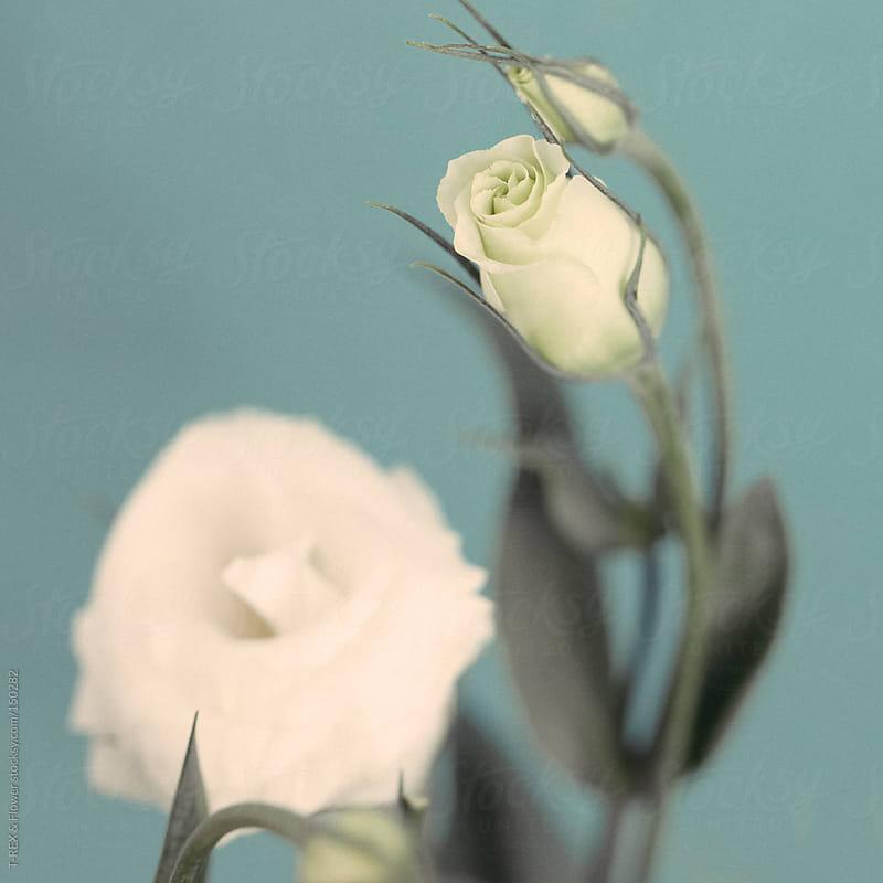 White rosebud by T-REX & Flower for Stocksy United